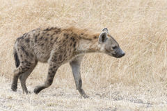 Adult spotted hyena. Spotted Hyena (Crocuta crocuta) - walks along country road. Masai Mara Conservancy, Kenya, Africa Stock Photography