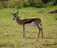 A springbok standing on the African plains royalty free stock image