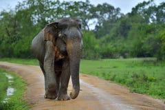 Adult Sri lankan elephant on the road. Yala National Park. Sri Lanka. Adult Sri lankan elephant on the road. Sri Lankan elephant Elephas maximus maximus. Yala stock photo