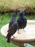 Starlings, posing on a birdbath stock photos