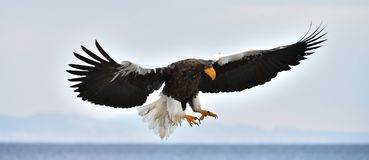 Adult Steller`s sea eagle in flight. Stock Photography