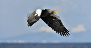 Adult Steller`s sea eagle in flight. Royalty Free Stock Images