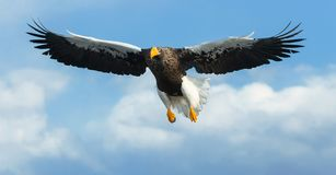 Adult Steller`s sea eagle in flight. Blue sky and clouds backrground royalty free stock image