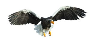 Adult Steller`s sea eagle in flight. Isolated on white. stock photo