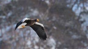 Adult Steller`s sea eagle in flight. Mountain background. Scientific name: Haliaeetus pelagicus. Natural Habitat. Winter Season stock images