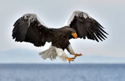 Adult Steller`s sea eagle in flight. Royalty Free Stock Photography
