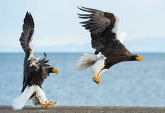 Adult Steller`s sea eagles. Blue sky and ocean background. Adult Steller`s sea eagle in flight. Scientific name: Haliaeetus pelagicus. Blue sky and ocean royalty free stock photography