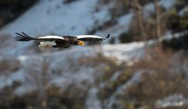 Adult Steller`s sea eagle in flight. Snowy Mountain background. royalty free stock photography