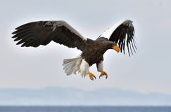 Adult Steller`s sea eagle in flight. Stock Photo