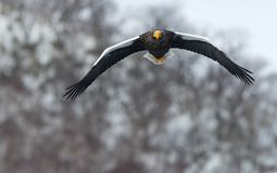 Adult Steller`s sea eagle in flight. Winter Mountain background. Scientific name: Haliaeetus pelagicus. Natural Habitat. Winter Season royalty free stock image