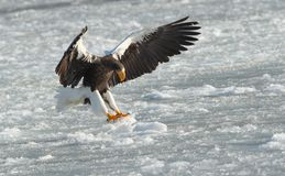 Adult Steller`s sea eagle landed. stock photography