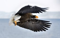 Adult Steller`s sea eagle landed and spread of wing. Scientific name: Haliaeetus pelagicus. Adult Steller`s sea eagle landed and spread of wing. Steller`s sea Royalty Free Stock Images