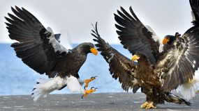 Adult Steller`s sea eagle landed and spread of wing. Scientific name: Haliaeetus pelagicus. Adult Steller`s sea eagle landed and spread of wing. Steller`s sea Royalty Free Stock Photo