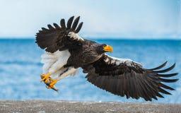 Free Adult Steller`s Sea Eagle. Scientific Name: Haliaeetus Pelagicus. Blue Ocean Background. Royalty Free Stock Images - 163811369