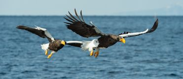 Free Adult Steller`s Sea Eagles Fishing. Stock Images - 133485884