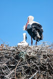 Adult Stork with the baby on the nest Royalty Free Stock Images