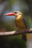 Adult stork billed kingfisher Royalty Free Stock Images