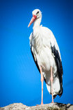 Adult stork-ciconia ciconia Stock Images
