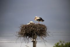 An adult stork with his babies in their nest wating for the rain stock photography