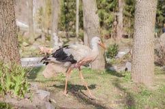 Adult stork in its natural habitat. Natural background. Adult stork in its natural habitat stock images