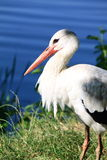 Adult stork in its natural habitat Stock Images