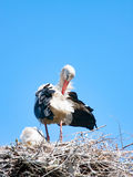 Adult Stork with the Offspring on the nest. The Adult Stork with the Offspring on the nest Royalty Free Stock Image