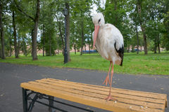 Adult stork Royalty Free Stock Photo