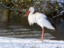 Adult stork standing in the snow Royalty Free Stock Image