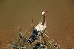 Stork wading in the river, Silves, Portugal. Royalty Free Stock Image
