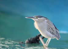 An adult striated heron Butorides striata sitting on the water Royalty Free Stock Images