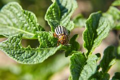 Adult striped Colorado beetle eating young green potato leaves, pest royalty free stock image
