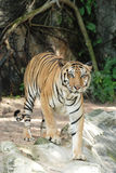Adult Sumatran tiger Royalty Free Stock Image