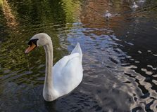 Adult Swan and babies strolling royalty free stock images