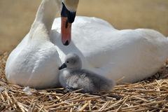 Adult swan with cygnets Royalty Free Stock Photography