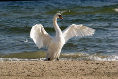 Adult swan. An adult swan flapping its wings on a sea beach Stock Photos