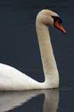 Adult Swan Headshot. Floating On Pond Stock Image
