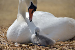 Adult swan nurturing cygnet Royalty Free Stock Photos