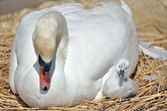 Adult swan nurturing cygnet Royalty Free Stock Image