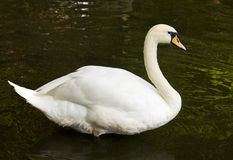 Adult swan over dark water Stock Photography