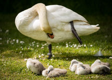 Adult swan preening whilst cygnets snooze on river bank Stock Images