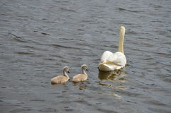 Adult swan with two cygnets swimming on lake Stock Photography