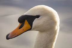 Adult swann head. A close picture taken from a swann`s head from profile view. You can see blurred water in the background. Sun is shining from the back of the Stock Photo