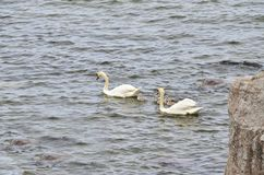 Swan family on the sea coast. royalty free stock photo