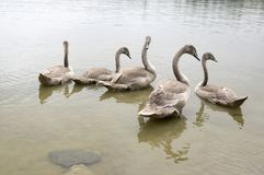 Adult swans and swan children on the river, happy bird family. Adult swans and swan children on dirty river, happy bird family, bigger bird kids, brown color Royalty Free Stock Image