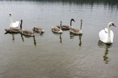 Adult swans and swan children on the river, happy bird family. Adult swans and swan children on dirty river, happy bird family, bigger bird kids, brown color Stock Photos