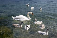 Adult swans and swan children on Lago di Garda lake, Italy, happy bird family. Adult swans and swan children on Lago di Garda lake, Italy, happy family Royalty Free Stock Photo