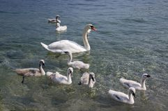Adult swans and swan children on Lago di Garda lake, Italy, happy bird family. Mother, father and kids Royalty Free Stock Photo