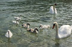 Adult swans and swan children on Lago di Garda lake, Italy, happy bird family. Mother, father and kids Stock Photos