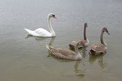 Adult swans and swan children on the river, happy bird family. Adult swans and swan children on dirty river, happy bird family, bigger bird kids, brown color Royalty Free Stock Images