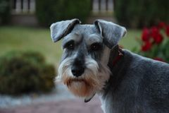 Adult, sweet dog- miniature schnauzer in a garden on green grass royalty free stock images